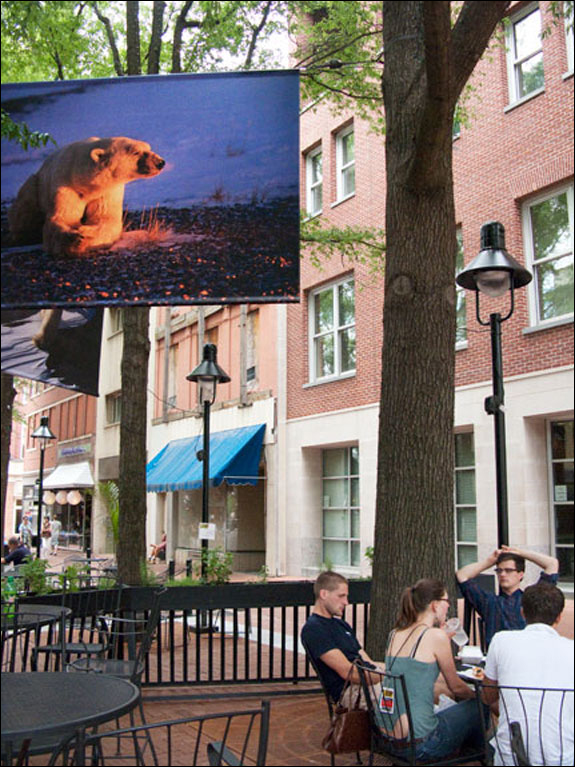 "Featured artist, Tom Mangelsen showcases his ""Within the Wild"" exhibition high up in the trees in Charlottesville's downtown mall. Courtesy, © Susan Katz 2009"